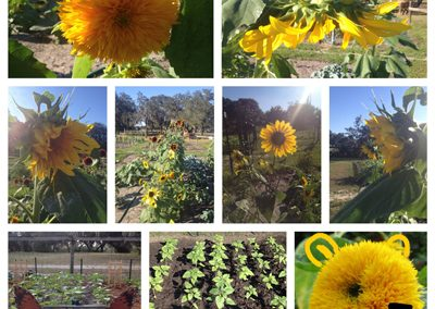 Pictures of various sunflowers