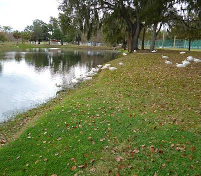 White Ibis Ocala FL
